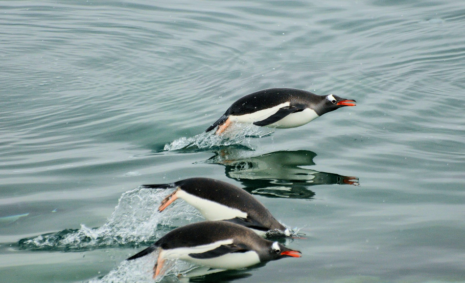Pinguine sind perfekt an ein Leben im Wasser angepasst. Krill und Fische sind auf ihrem Speiseplan. Nun konnten Wissenschaftler auch Quallen und Rippenquallen dazuzählen. Bild: Michael Wenger