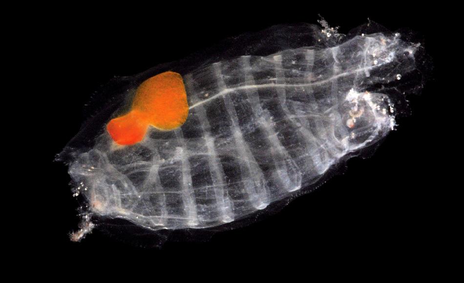 Salpen sind wirbellose Tiere, die stammesgeschichtlich den Wirbeltieren näher stehen, als den Krebsen. Wie häufig und wichtig diese Tiergruppe in den Weltmeeren tatsächlich ist, wurde erst in den letzten Jahren klar. Auch im Südpolarmeer spielen sie eine enorme Rolle für die Wasserqualität und Abbauprozesse. Bild: Jan Michels