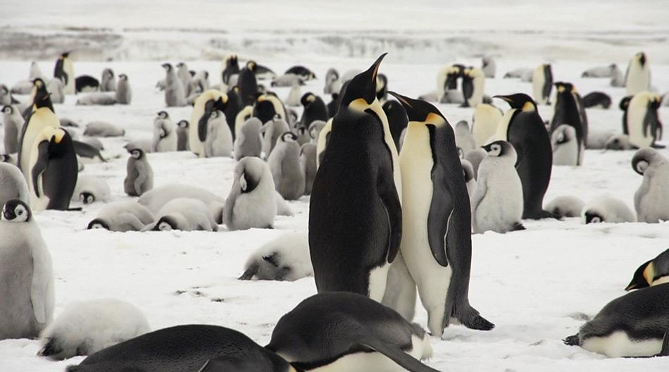 Die Kolonie bei Snow Hill Island zählt zirka 4.000 bis 4.200 Brutpaare der Kaiserpinguine.