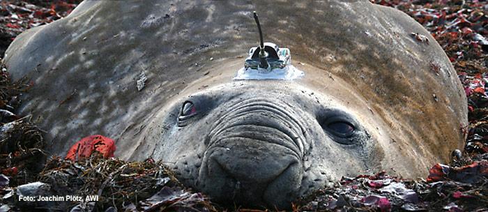 PolarNEWS_20100708_Seeelefant_mit_Sender