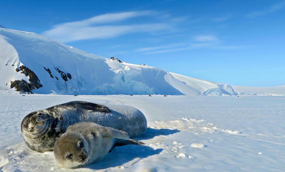 Eine Robbenmutter der Hutton Cliffs Robbenpopulation streckt sich mit ihrem Jungen aus. Bild: Eric Boyd