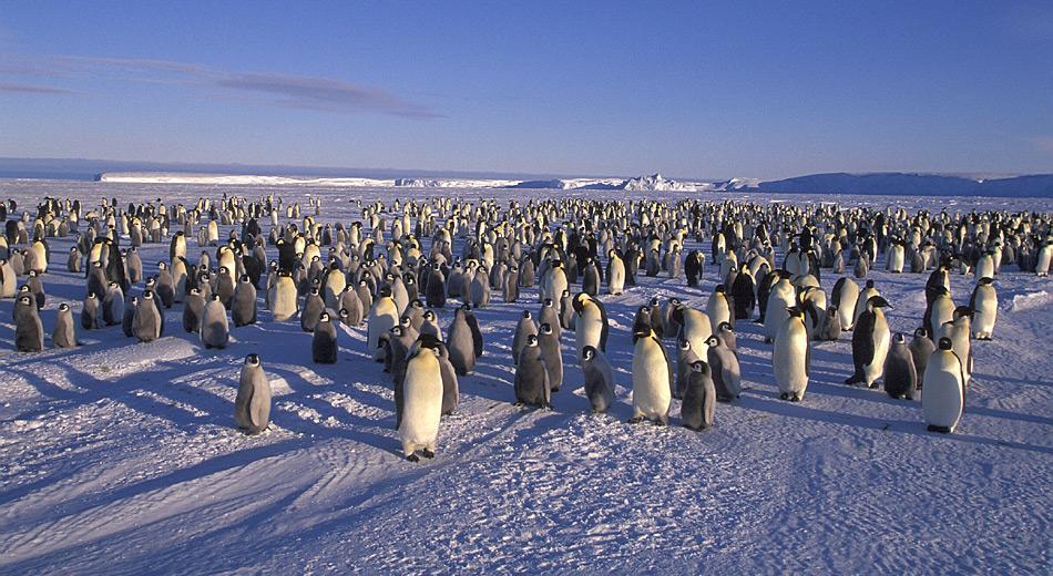 Kaiserpinguine brüten in 45 bekannten Kolonien rund um die Antarktis und ihre Bestandsgrösse wird auf über 260'000 Tiere geschätzt. Foto: Heiner Kubny