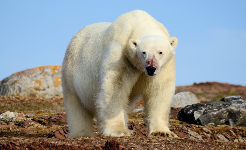 Sollte der Genfluss zwischen den Bärenarten tatsächlich leichter sein, könnten Braunbären eine Art genetischer Pool für bedrohte Eisbären darstellen, solange die Lebensbedingungen schlecht für sie sind.  Doch dies ist nur eine Theorie. Bild: Michael Wenger