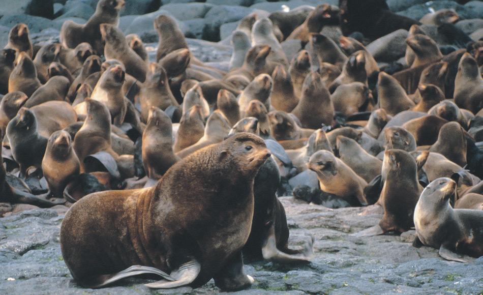 Ein männlicher Seebär (Callorhinus ursinus) sonnt sich mit seinem Harem in Alaskas Maritime National Wildlife Refuge. Nördliche Pelzrobben sind seit Tausenden von Jahren das Hauptnahrungsmittel der alaskischen Ureinwohner und werden seit dem 18. und 19. Jahrhundert kommerziell wegen ihres Fells gejagt. (Bild: M. Boylan [Public Domain], Wikimedia Commons).