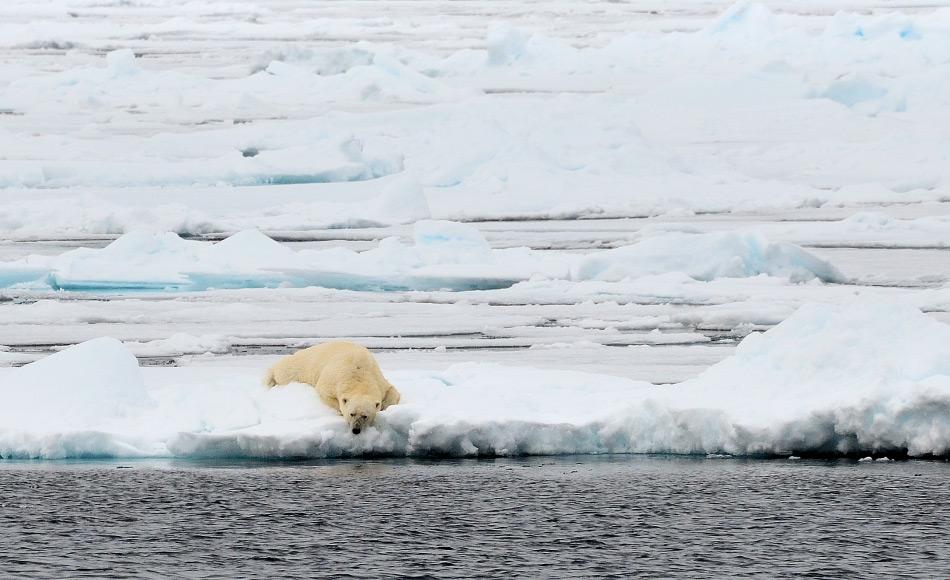 Der Arktische Ozean schafft es nicht aus den Medien hinaus mit seinem kontinuierlichen Verlust an Meereis. Gemäss einer neuen Studie hängt die Wahrscheinlichkeit eines eisfreien Sommers oder nicht gerade einmal von einem halbe Grad Celsius ab. Daher hängen Eisbären und andere Tiere vom guten Willen der politischen Führungen ab, die ihre Klimaziele erfüllen sollten. Bild: Michael Wenger