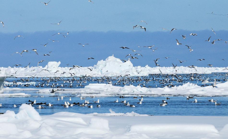 Die Eiskante ist ein reichhaltiger Lebensraum für eine Vielzahl von Tieren. Neben Robben und Eisbären finden dort auch Wale und Vögel genügend Nahrung in dieser eisigen Welt. Bild: Michael Wenger