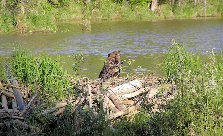 Biber sind in Europa die grössten Nagetiere und können über 30 Kilogramm wiegen. Aufgrund ihres Pelzes und weil sie der aufstrebenden Agrokulturen im Weg waren, wurden sie weltweit gejagt und in vielen Ländern beinahe ausgerottet. Bild: Wikipedia