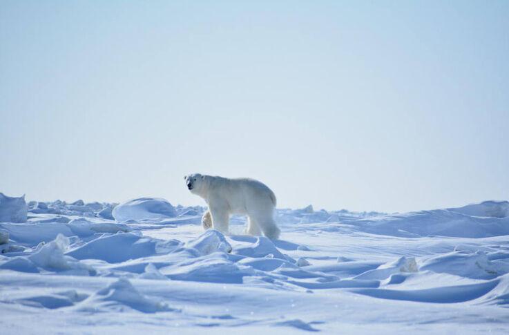 Eisbären fühlen sich hier wohl. (Bild: WWF