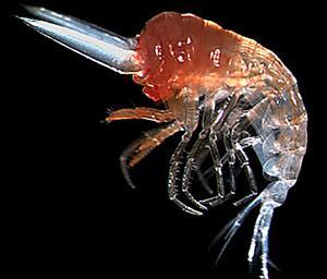 Mimonectes-sphaericus