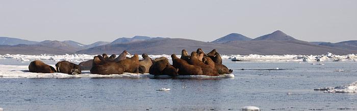 Chukotka Wrangel Island