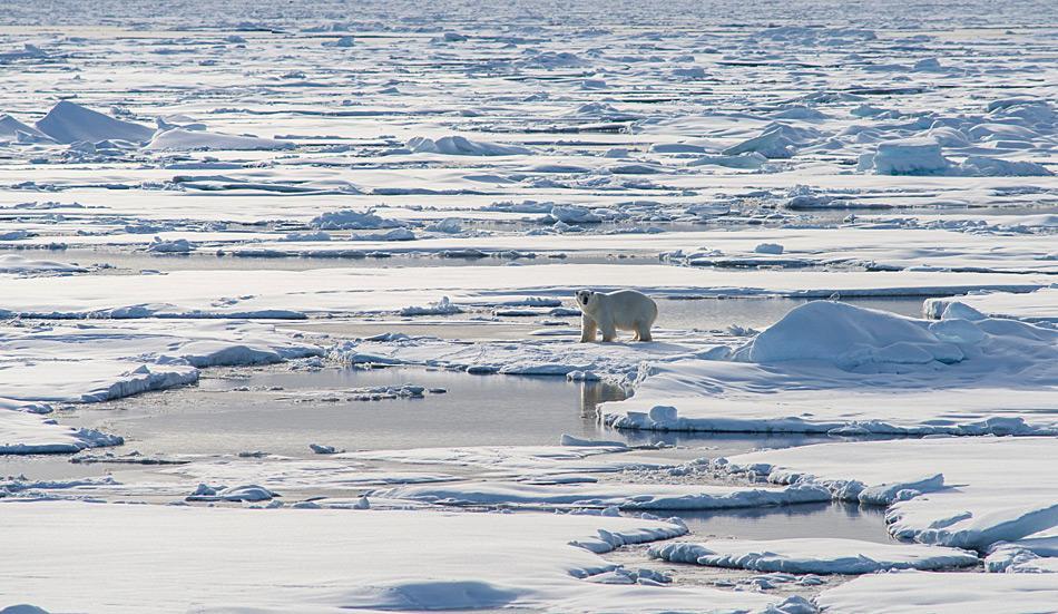 Ein Eisbären in der Weite des Meereises im arktischen Ozean (Foto: Katja Riedel)