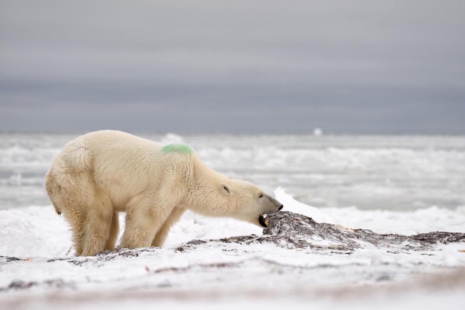 Da die Sommermonate immer länger dauern, haben Eisbären Schwierigkeiten, Nahrungsquellen zu erschliessen und werden dadurch unvorsichtiger im Umgang mit Menschen. Dies führt zu gefährlichen Begegnungen für Mensch und Bär. Bild: Michael Wenger