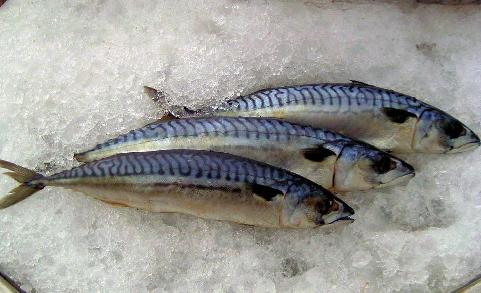 Makrelen sind Planktonfresser und halten sich gerne in temperaten Gewässern mit hoher Produktivität auf. Aufgrund des Klimawandels verschieben sich aber die traditionellen Futtergebiete nach Norden und bilden ein Risiko für kälteangepasste Arten.