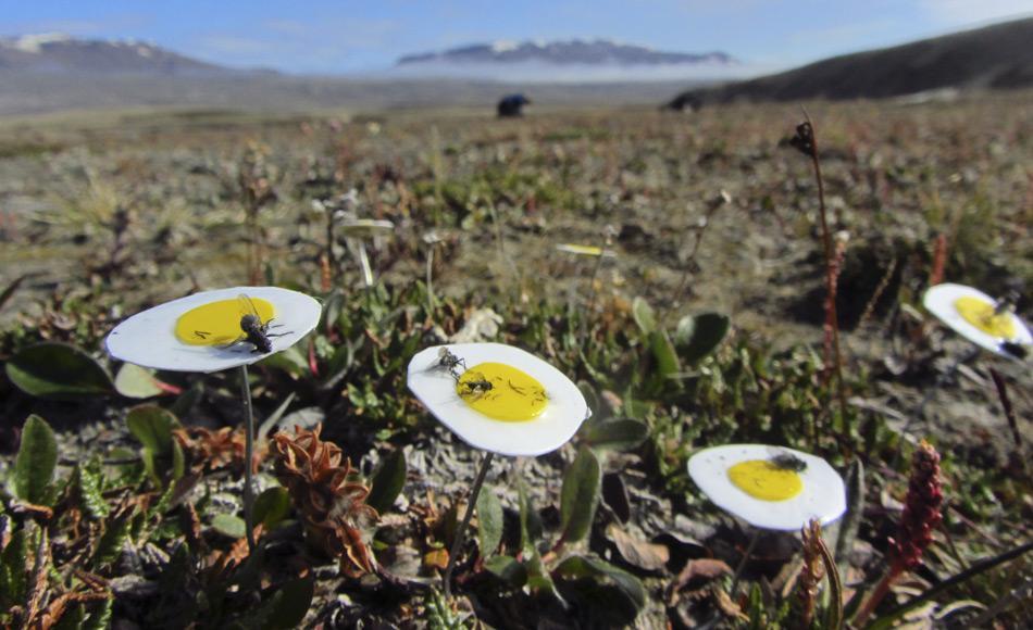 Künstliche Blumen aus klebrigen Papier ahmen die Silberwurz (Dryas octopetala) nach und  fangen arglose Bestäuber. Die Fliegen (Muscidae), die auf diesen Blumen-Fallen kleben blieben, haben  sich als die wichtigsten Bestäuber in der Arktis erwiesen. Bild: Malin Ek
