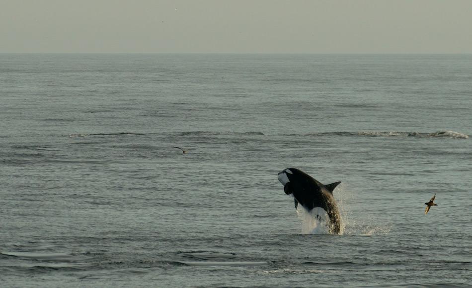 Obamas und Trudeaus Entscheidung, ihre arktischen Regionen zu schützen sind für viele Tiere ein Grund vor Freude zu springen. Doch konservative Kräfte in den USA haben bereits Widerstand angekündigt, vor allem aus wirtschaftlichen Gründen. Was in der Zukunft geschehen wird, steht in den Sternen. Bild Michael Wenger