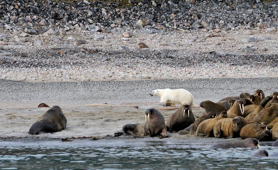 Gute Neuigkeiten für die beiden Ikonen der Arktis. Öl- und Gasförderungen sind in weiten Gebieten verboten. So können sowohl Eisbär wie auch Walross etwas verschnaufen. Doch Klimawandel, Verschmutzung und zunehmender Verkehr schweben über den Köpfen und bedrohen ihre Umwelt. Bild: Michael Wenger
