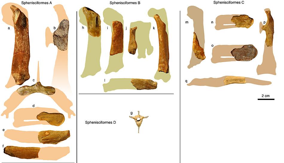 Die Funde von Wirbelsäulen, Brustbeine, Flügel und Beinen konnten zu mehreren ausgestorbenen Pinguinarten zugeordnet werden.
