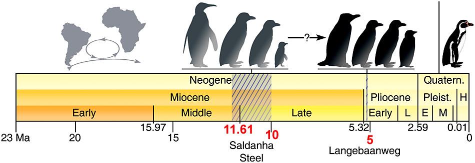 Ganz rechts der «Neuzeitpinguin». Fossilienfunde seines Vorgängers zeigen, dass bereits vor ca. 5 Millionen und 10-12 Millionen Jahre (straffierte Fläche) Pinguine in Südafrika heimisch waren.