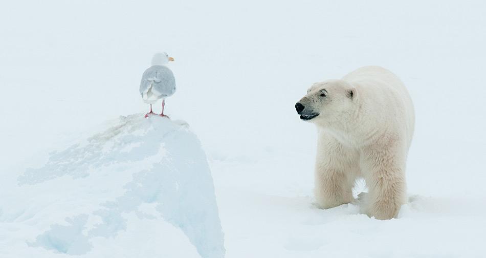 Polarbaer mit Möwe